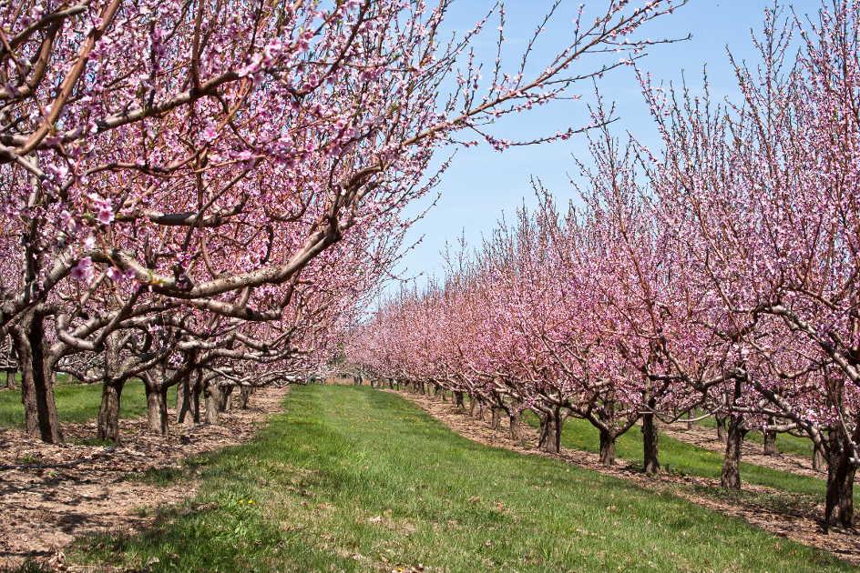 gardening-pink-trees